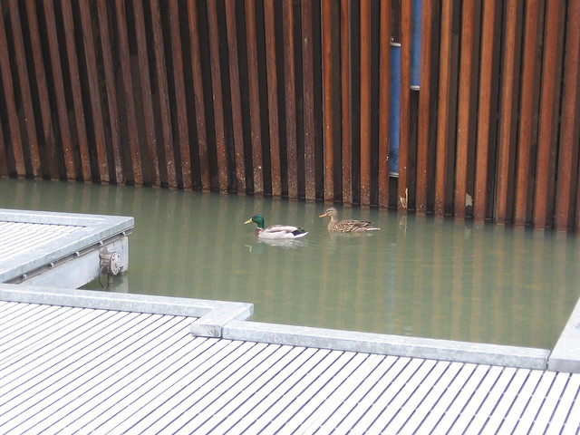 Ducks, Tanner Springs