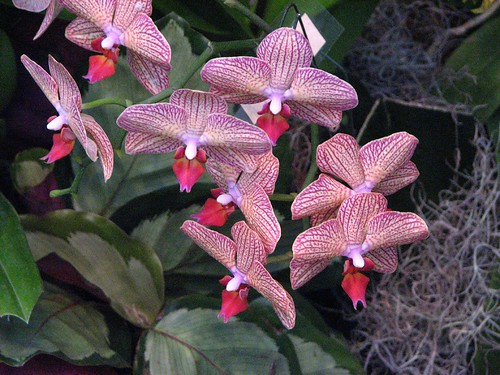 orchids at longwood garden orchid show by paladinsf