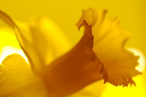 Strobe lit Daffodil