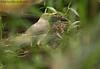 Ecuadorian Thrush (Michael Woodruff) Tags: foothills bird birds ecuador birding lowlands thrush turdus ecuadorian fbwnewbird fbwadded nwecuador riosilanche ecuadorianthrush maculirostris turdusmaculirostris