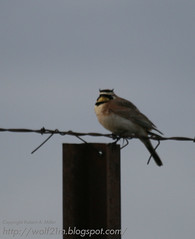 Horned Lark near Midvale Idaho