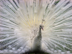 White Peacock (ecstaticist - evanleeson.com) Tags: white bird nature display feathers feather peacock mating ritual naturesfinest abigfave artlibre vision1000 visiongroup avianexcellence vision100 vision10000