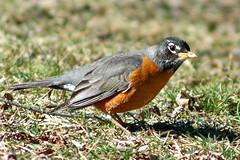 Spring has officially arrived... (Dan Sutton) Tags: bird robin wildlife mailmandan impressedbeauty superbmasterpiece