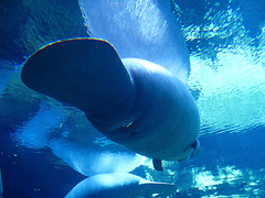Manatee Bottom view (kazu4313123) Tags: orlando underwater manatee seaworld navel g7
