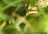 Esmeraldas Antbird (Michael Woodruff) Tags: foothills bird birds ecuador birding antbird esmeraldas myrmeciza nwecuador milpe milpebirdsanctuary esmeraldasantbird myrmecizanigricauda