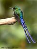 Violet-tailed Sylph (Michael Woodruff) Tags: bird southamerica birds ecuador bravo hummingbird birding hummer sylph specanimal fbwnewbird fbwadded aglaiocercus avianexcellence violettailed nwecuador oldnonomindord nonomindo aglaiocercuscoelestis violettailedsylph