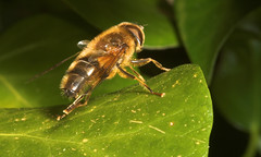 """Drone-Fly (Eristalis tenax)(2) • <a style=""""font-size:0.8em;"""" href=""""http://www.flickr.com/photos/57024565@N00/448142973/"""" target=""""_blank"""">View on Flickr</a>"""