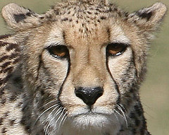 Cheetah pombe (kjdrill) Tags: california africa park girls wild usa public animal mammal sandiego wildlife fast bigcat worlds land cheetah cubs fastest exoticcats bigcats debut escondido moyo endangeredspecies etana pombe