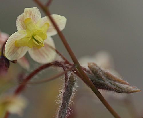 Epimedium pinnatum ssp. colchicum