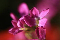 IMG_2189 (Photos by Jus) Tags: pink flowers macro nature beauty spring heart springflowers iloveflowers impressedbeauty impressedbyyourbeauty
