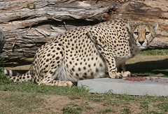 Fresh meat for Pombe (kjdrill) Tags: california africa park wild usa public animal mammal sandiego wildlife fast bigcat worlds land cheetah cubs fastest exoticcats bigcats debut escondido moyo endangeredspecies etana pombe