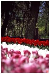 Tulip(Fil,m) 070414 #03