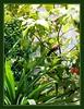 Pycnonotus goiavier (Yellow-vented Bulbuls)