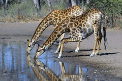 Giraffe reflections - by Arno & Louise
