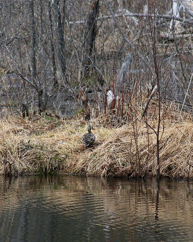 ran away duck