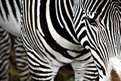 Stripes (sparky2000) Tags: nature animal animals closeup mammal zoo scotland blackwhite edinburgh natural stripes wildlife scottish zebra mammals animalplanet naturalworld animalki