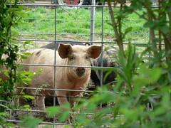 Devil's Marbleyard: Pig