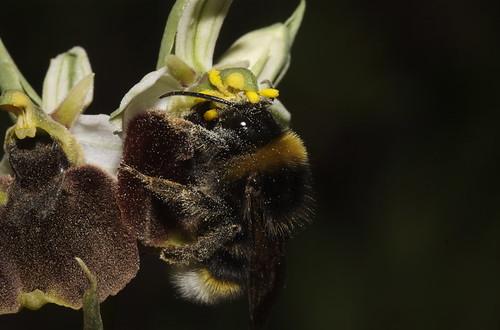 زهرة تتنكر الى درجة انها تخدع النحل نفسه 476945965_364a438fce