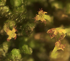 Frullania eboracensis sporophytes