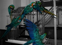 Too Many Macaws!!! (~Dezz~) Tags: pet bird animal photoshop cloning parrot ronnie clone macaw selectivecolor canoneos400d canondigitalrebelxti