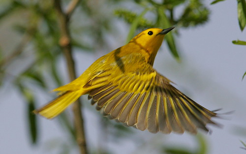 Yellow Warbler   By Mark Trabue