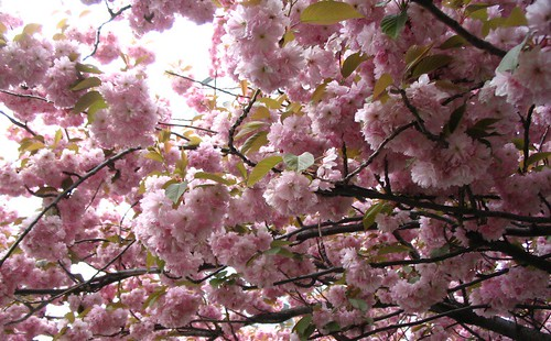 Blossoms. Photo: Ulla Hennig