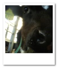 A calf