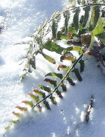 Fern, Sunlight, and Snow