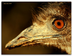The sad look of a young ostrich (alonsodr) Tags: bravo searchthebest quality sony ostrich avestruz alonso magicdonkey alonsodr outstandingshots specanimals alpha100 animakingdomelite abigfave colorphotoaward aplusphoto flickrplatinum