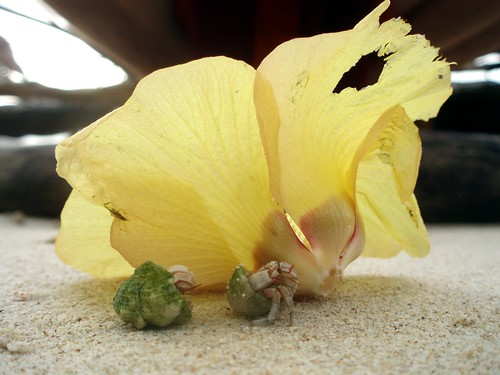 Hermit crab walking under a yellow flower