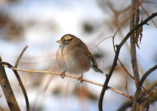 white-throated sparrow 05