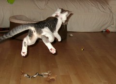 (Malingering) Tags: kitten kittens boing