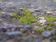 Musgo (escribealolo) Tags: musgo moss tenerife