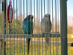 Our Parakeets