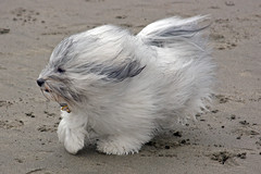 Desi - Small Dogs Play Group: Cold Day @ Ocean Beach (the other Martin Taylor) Tags: sanfrancisco dog dogs smalldogs oceanbeach playdate havanese smalldogssf