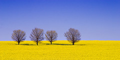 Canola Field (RWYoung Images) Tags: landscape australia newsouthwales 28135mm holbrook canola d60 flickrsbest impressedbeauty colourlicious