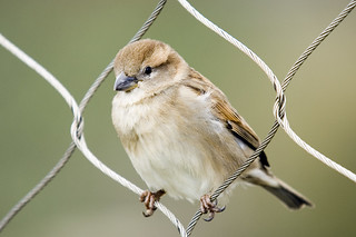 Sparrow in chainlink