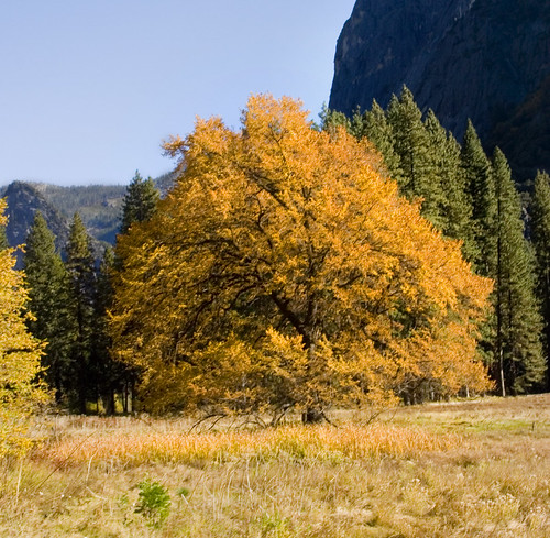 What's the most important tree in Yosemite Valley?