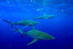 Galapagos Sharks (ScottS101) Tags: school danger ilovenature island hawaii islands shark nikon pacific oahu teeth galapagos pack northshore jaws predator allrightsreserved pelagic ilovetheocean d80 carcharhinusgalapagensis copyrightscottsansenbach2008