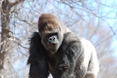 Silverback Male Gorilla - by dbarronoss