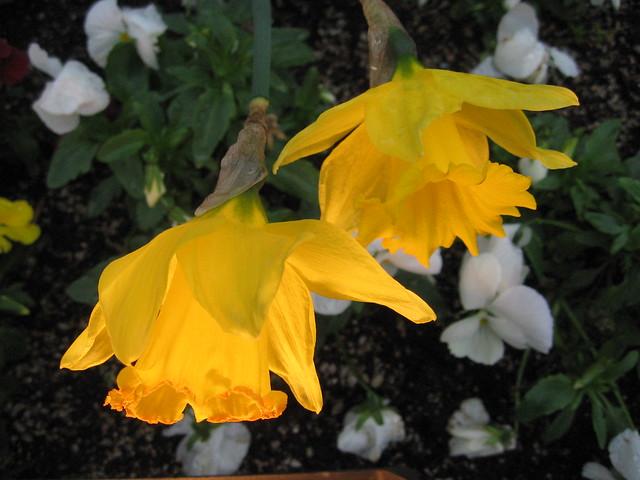 daffodils_lit