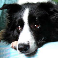 kingsley pondering (kingzleyking) Tags: moo kingsley bordercollie squared interestingness470 i500 flickrsbest dogexpressionsfave explore20070312 gettywants