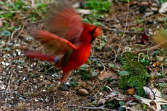 Up, Up, and Way (mightyquinninwky) Tags: morning red orange brown motion black male green bird grass birds flying spring cardinal kentucky seed pineneedles lexingtonky frontyard chevychase redbird sunflowerseeds  fontaineroad   centralkentucky  ashlandhistoricarea
