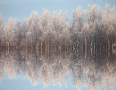 Forest reflection (Vaeltaja) Tags: blue trees winter sky white snow forest photoshop suomi finland mirror bravo oulu lumi talvi mets sininen naturesfinest puut taivas blueribbonwinner kuivasjrvi supershot valkoinen abigfave anawesomeshot impressedbeauty superbmasterpiece beyondexcellence goldenphotographer flickrdiamond peilaus
