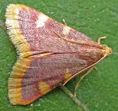 1413-DSCN2185 Gold Triangle (Hypsopygia costalis) (ajmatthehiddenhouse) Tags: 2005 moth pyralidae pyralinae hypsopygia costalis goldtriangle hypsopygiacostalis