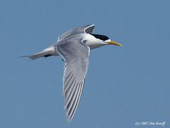Swift tern (Sterna bergii) (aka Great crested tern) (Jim Scarff) Tags: great crested tern sternabergii greatcrestedtern swifttern thalasseusbergii