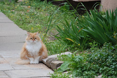 Garfield (Or Hiltch) Tags: cats cute cat persian fat fluffy redhead garfield regal d80 impressedbeauty orhiltch