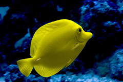 yellow tang (tamilian / photo-capture.co.uk) Tags: fish canon aquarium marine sathish tamilian yellowtang catchycolorsyellow seafish canonefs1855mmf3556 photocapturecouk