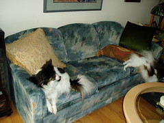 Maxxie wondering where Sophie is going (PetLvr) Tags: pets sophie papillon maxxie
