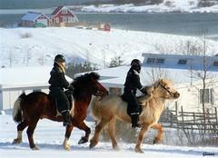 Icelandic horses - by Gúnna